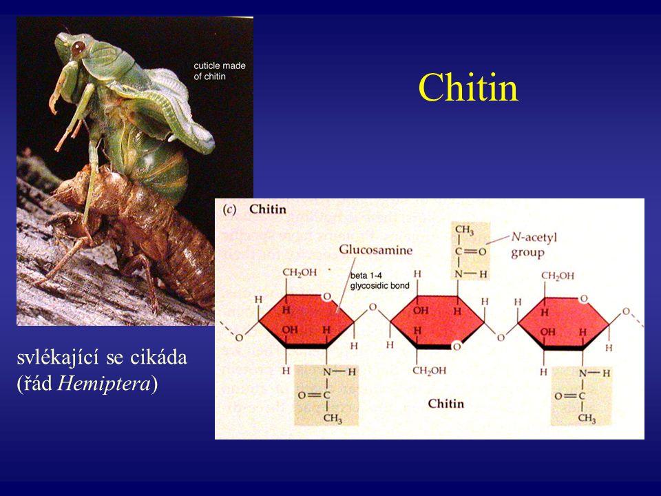 Chitin svlékající se cikáda (řád Hemiptera)