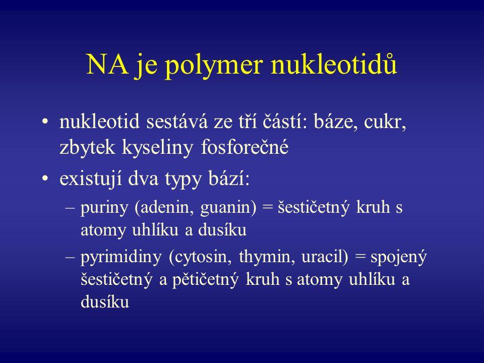 NA je polymer nukleotidů nukleotid sestává ze tří částí: báze, cukr, zbytek kyseliny fosforečné existují dva typy bází: –puriny (adenin, guanin) = šes