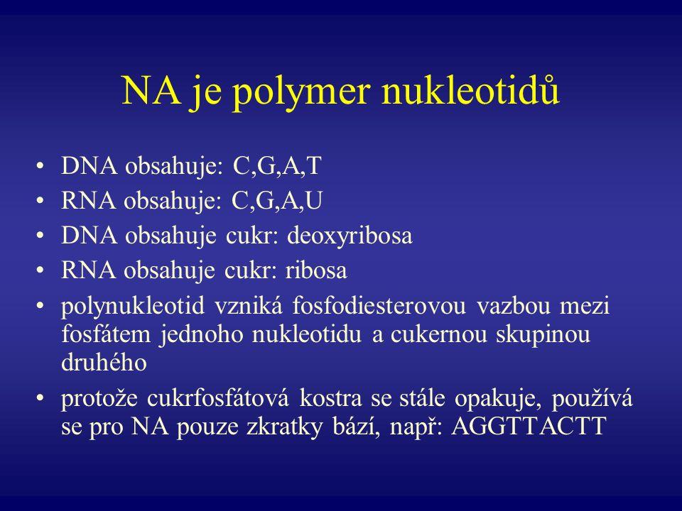 NA je polymer nukleotidů DNA obsahuje: C,G,A,T RNA obsahuje: C,G,A,U DNA obsahuje cukr: deoxyribosa RNA obsahuje cukr: ribosa polynukleotid vzniká fos