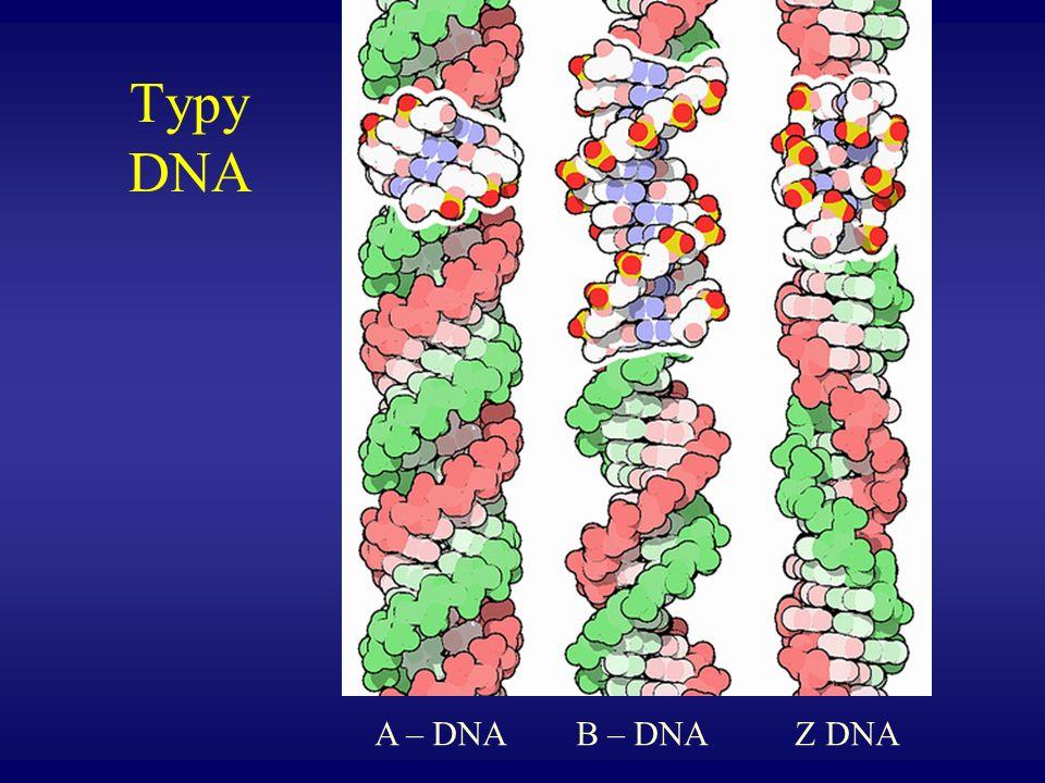 Typy DNA A – DNA B – DNA Z DNA