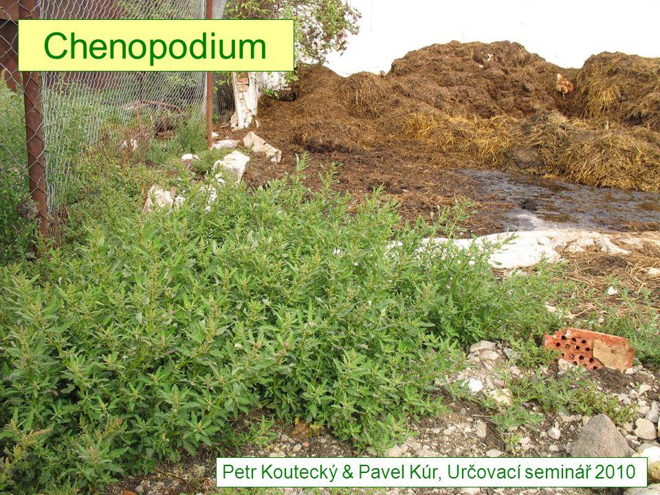 živinami bohaté i mírně zasolené půdy, vysýchavé – rumiště, úhory, návsi, příkopy,… archeofyt, termofytikum, vz.