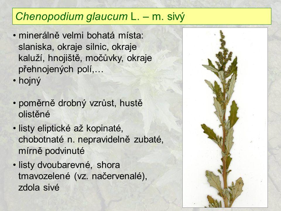 Chenopodium glaucum L. – m. sivý minerálně velmi bohatá místa: slaniska, okraje silnic, okraje kaluží, hnojiště, močůvky, okraje přehnojených polí,… h