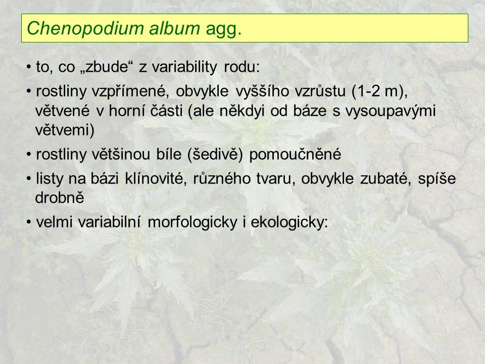 """Chenopodium album agg. to, co """"zbude"""" z variability rodu: rostliny vzpřímené, obvykle vyššího vzrůstu (1-2 m), větvené v horní části (ale někdyi od bá"""