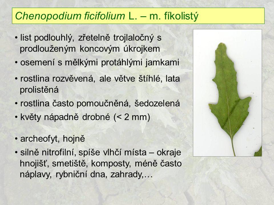 Chenopodium ficifolium L. – m. fíkolistý list podlouhlý, zřetelně trojlaločný s prodlouženým koncovým úkrojkem osemení s mělkými protáhlými jamkami ro