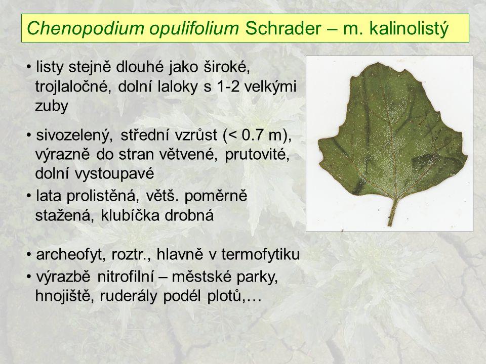 Chenopodium opulifolium Schrader – m. kalinolistý listy stejně dlouhé jako široké, trojlaločné, dolní laloky s 1-2 velkými zuby sivozelený, střední vz