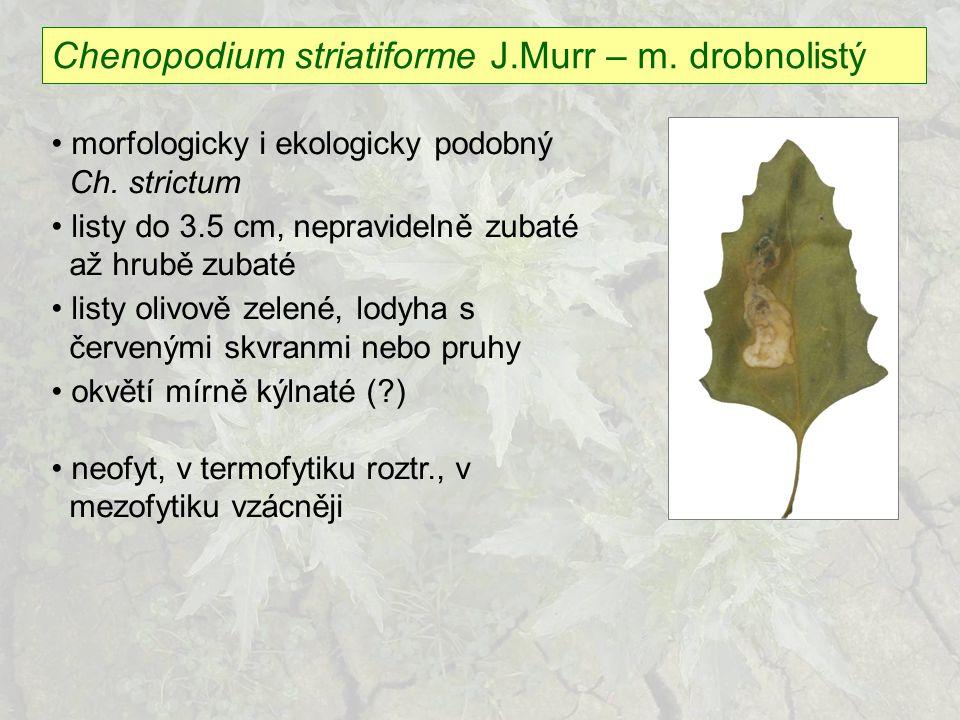 Chenopodium striatiforme J.Murr – m. drobnolistý morfologicky i ekologicky podobný Ch. strictum listy do 3.5 cm, nepravidelně zubaté až hrubě zubaté l