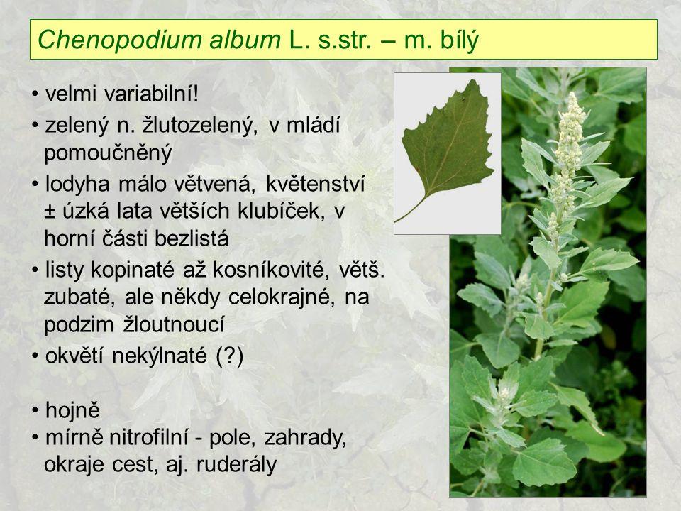 Chenopodium album L. s.str. – m. bílý velmi variabilní! zelený n. žlutozelený, v mládí pomoučněný lodyha málo větvená, květenství ± úzká lata větších