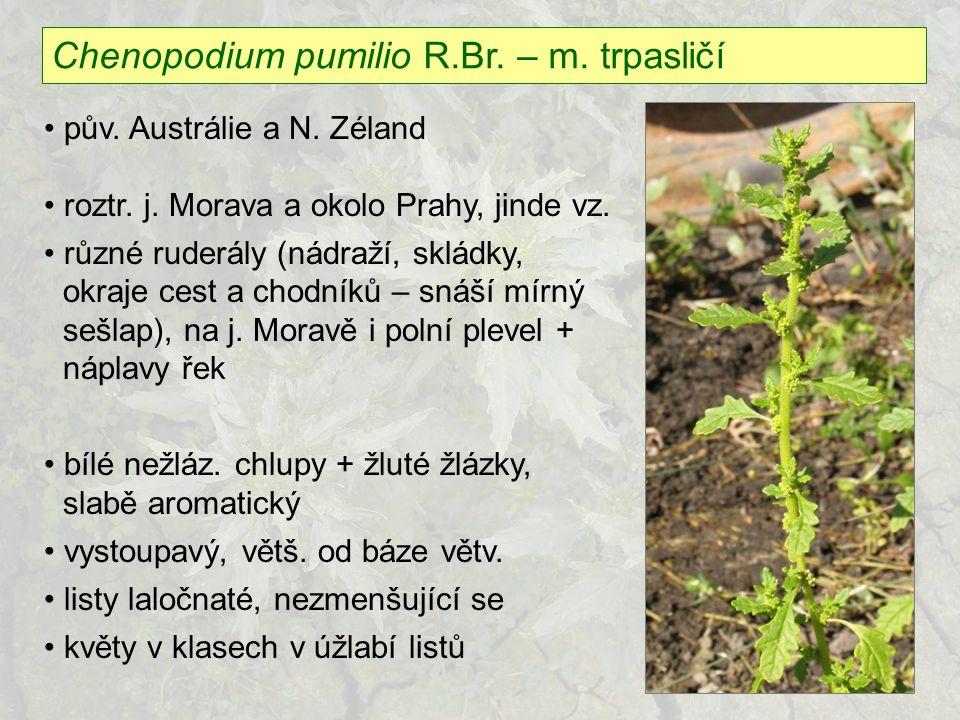 Chenopodium pumilio R.Br. – m. trpasličí pův. Austrálie a N. Zéland roztr. j. Morava a okolo Prahy, jinde vz. různé ruderály (nádraží, skládky, okraje