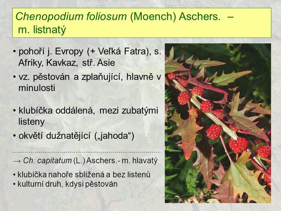Chenopodium foliosum (Moench) Aschers. – m. listnatý pohoří j. Evropy (+ Veľká Fatra), s. Afriky, Kavkaz, stř. Asie vz. pěstován a zplaňující, hlavně