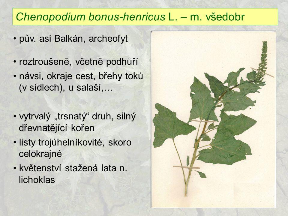Chenopodium bonus-henricus L. – m. všedobr pův. asi Balkán, archeofyt roztroušeně, včetně podhůří návsi, okraje cest, břehy toků (v sídlech), u salaší
