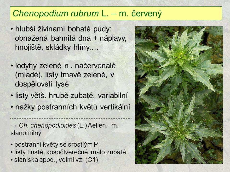Chenopodium rubrum L. – m. červený hlubší živinami bohaté půdy: obnažená bahnitá dna + náplavy, hnojiště, skládky hlíny,… lodyhy zelené n. načervenalé