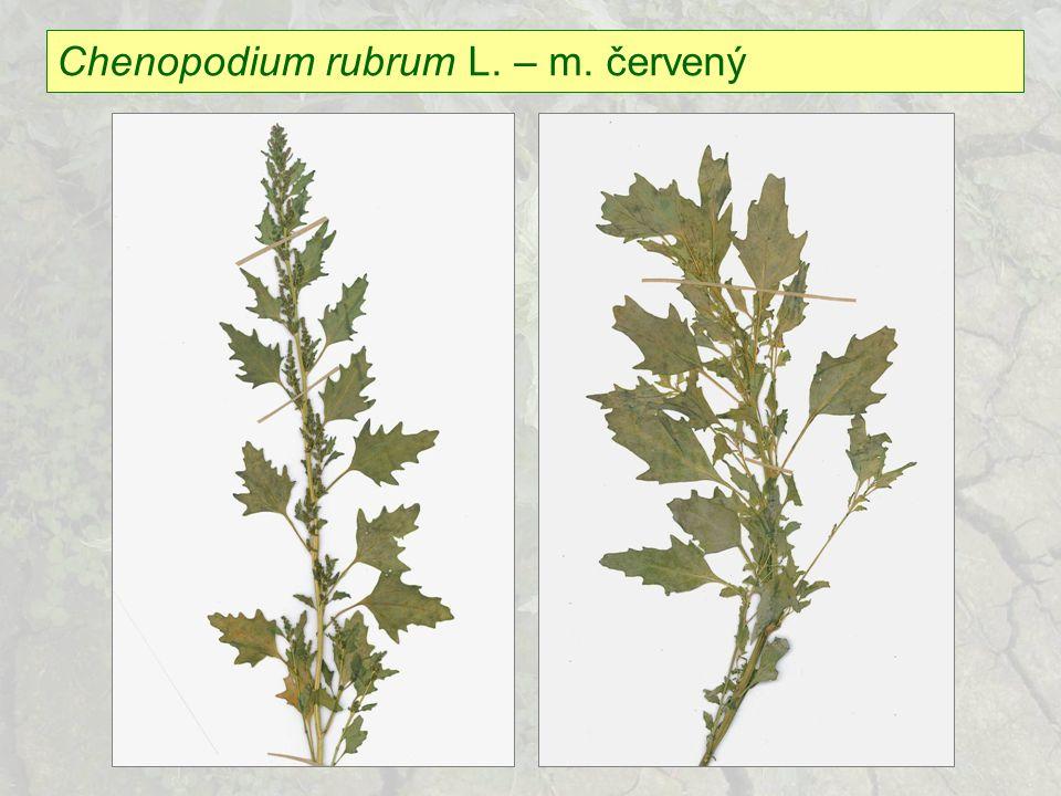 Chenopodium glaucum L.– m.