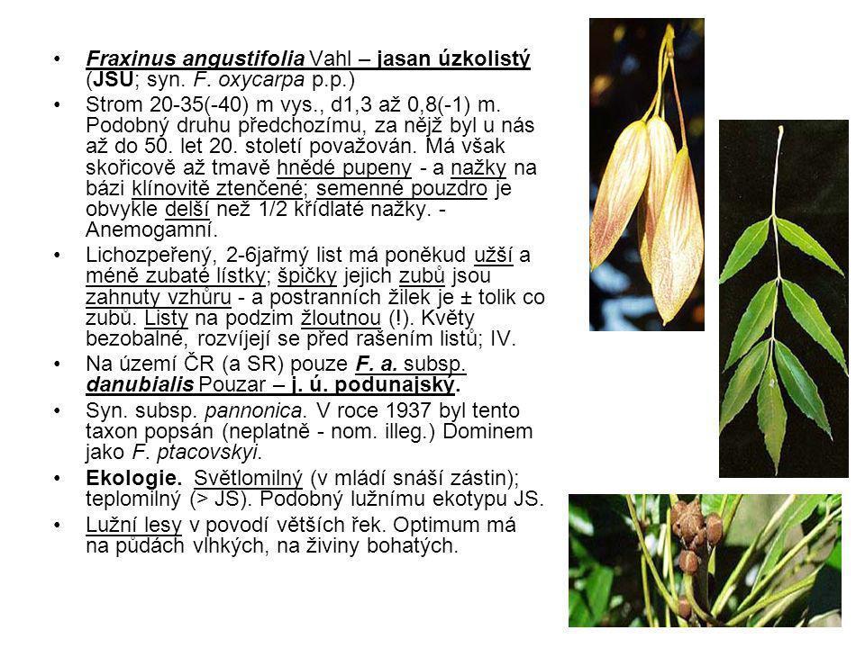 Fraxinus angustifolia Vahl – jasan úzkolistý (JSU; syn.