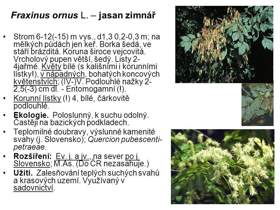 Fraxinus ornus L.– jasan zimnář Strom 6-12(-15) m vys., d1,3 0,2-0,3 m; na mělkých půdách jen keř.