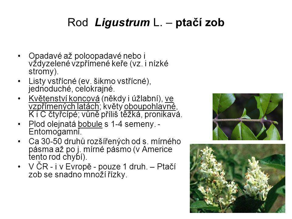 Rod Ligustrum L.– ptačí zob Opadavé až poloopadavé nebo i vždyzelené vzpřímené keře (vz.
