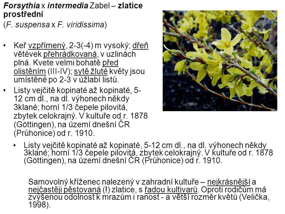 Forsythia x intermedia Zabel – zlatice prostřední (F.