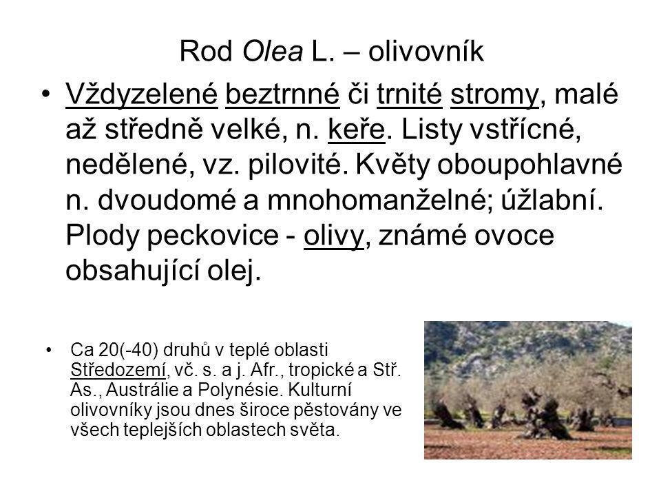 Rod Olea L.– olivovník Vždyzelené beztrnné či trnité stromy, malé až středně velké, n.