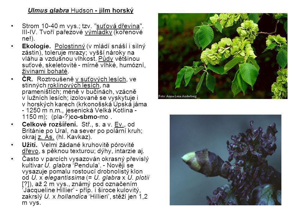 Ulmus glabra Hudson - jilm horský Strom 10-40 m vys.; tzv.