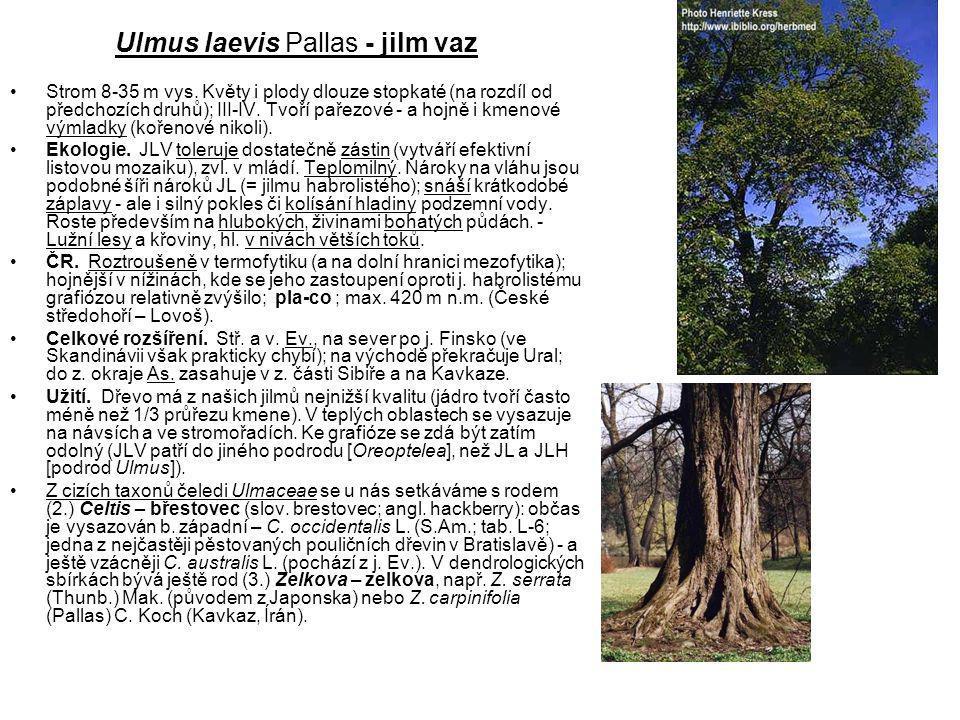 Ulmus laevis Pallas - jilm vaz Strom 8-35 m vys.
