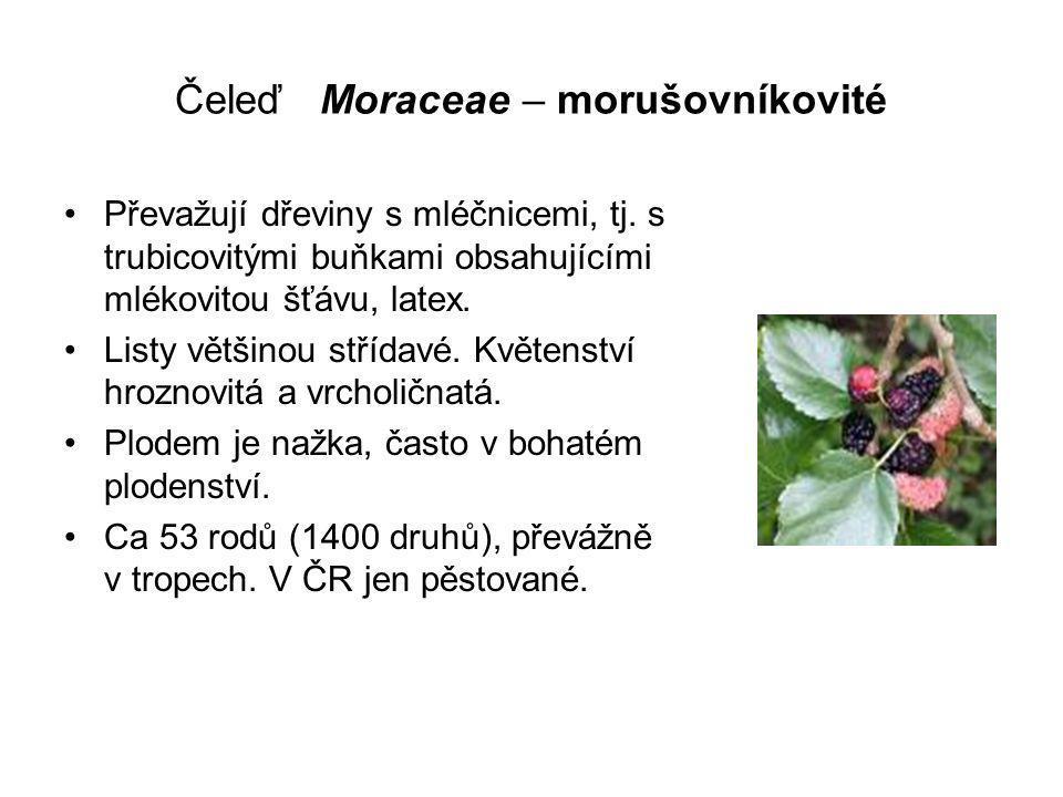 Čeleď Moraceae – morušovníkovité Převažují dřeviny s mléčnicemi, tj.