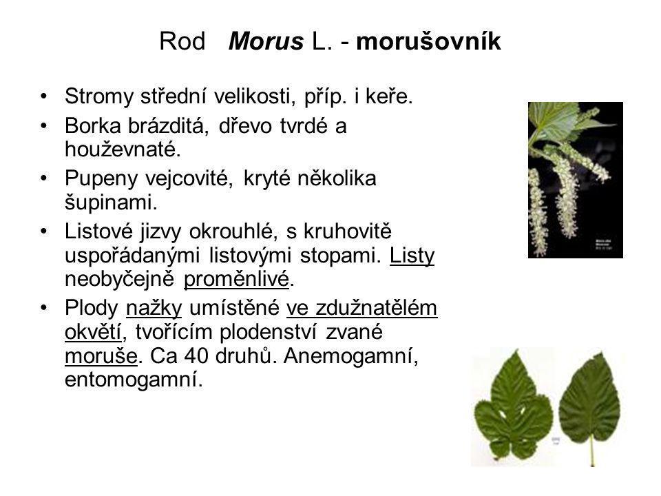 Rod Morus L.- morušovník Stromy střední velikosti, příp.