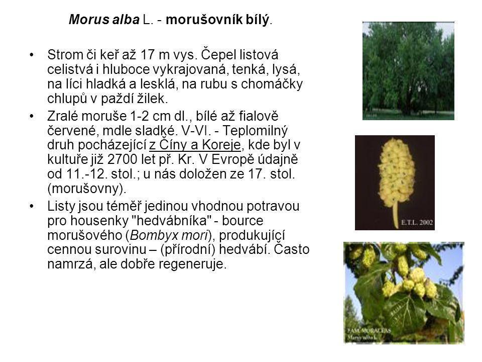 Morus alba L.- morušovník bílý. Strom či keř až 17 m vys.