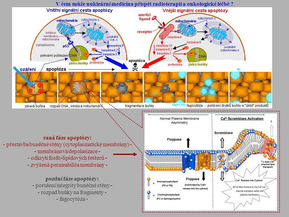 raná fáze apoptózy: - přestavba buněčné stěny (cytoplasmatické membrány) - - membránová depolarizace - - odkrytí fosfo-lipidových řetězců - - zvýšená