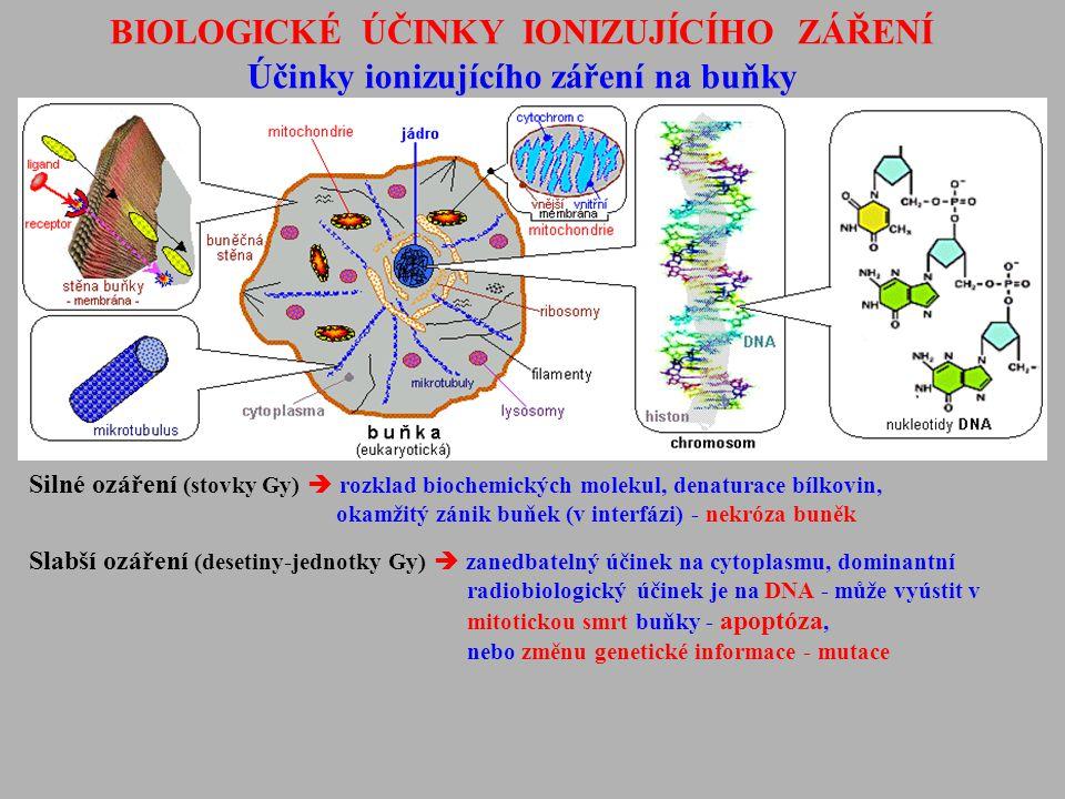 BIOLOGICKÉ ÚČINKY IONIZUJÍCÍHO ZÁŘENÍ Účinky ionizujícího záření na buňky Silné ozáření (stovky Gy)  rozklad biochemických molekul, denaturace bílkov