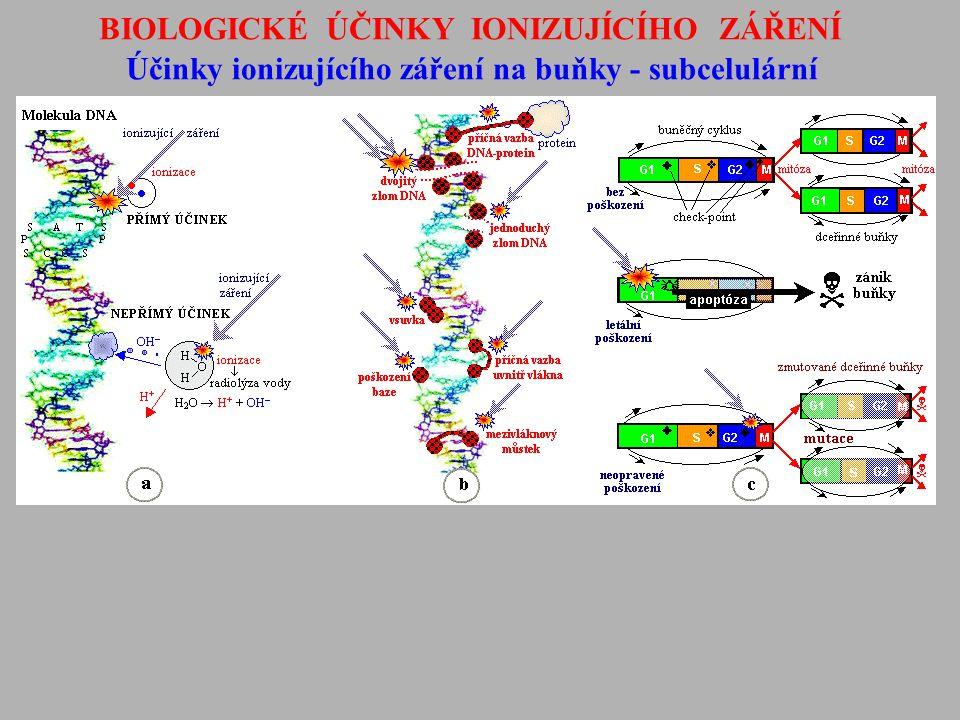 """BIOLOGICKÉ ÚČINKY IONIZUJÍCÍHO ZÁŘENÍ Účinky ionizujícího záření na buňky - mechanismy buněčné smrti - Apoptóza - vnitřně řízená (""""programovaná ) smrt poškozených nebo nadbytečných buněk - hlavní mechanismus radiobiologického účinku při nízkých dávkách (desetiny-jednotky Gy) Autofagie - sebe-pozření (""""samo-sežrání ) buněk Nekróza - přímý zánik (odumření, zničení) buněk."""