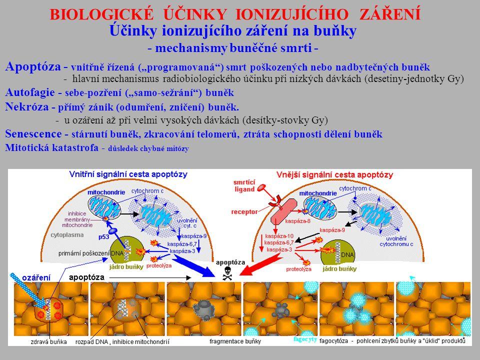 """BIOLOGICKÉ ÚČINKY IONIZUJÍCÍHO ZÁŘENÍ Účinky ionizujícího záření na buňky - mechanismy buněčné smrti - Apoptóza - vnitřně řízená (""""programovaná"""") smrt"""