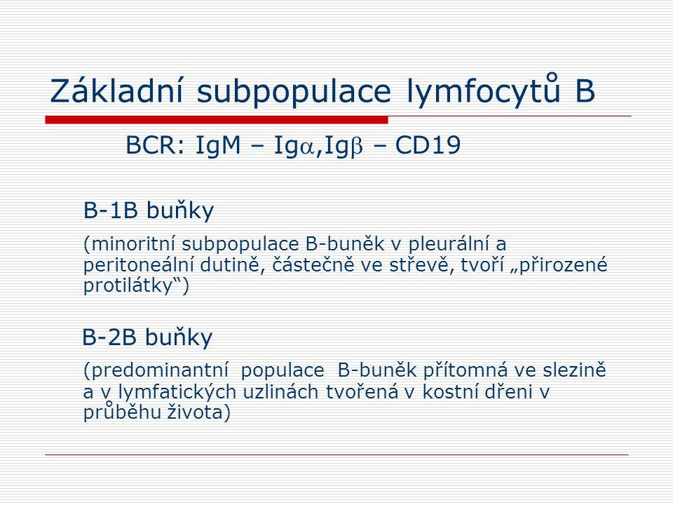 """Základní subpopulace lymfocytů B BCR: IgM – Ig,Ig – CD19 B-1B buňky (minoritní subpopulace B-buněk v pleurální a peritoneální dutině, částečně ve střevě, tvoří """"přirozené protilátky ) B-2B buňky (predominantní populace B-buněk přítomná ve slezině a v lymfatických uzlinách tvořená v kostní dřeni v průběhu života)"""