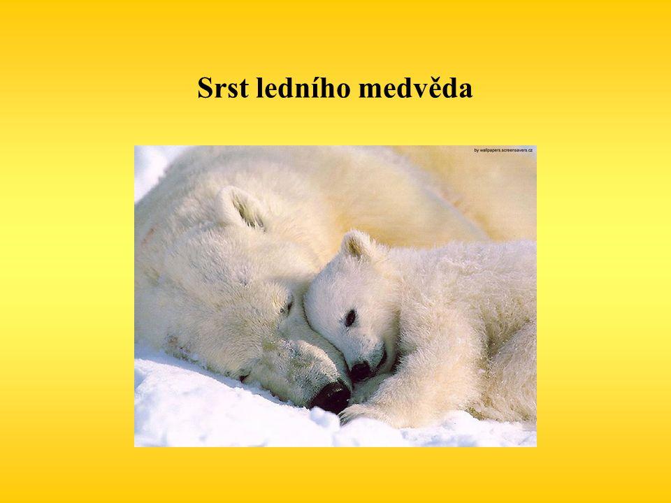 Srst ledního medvěda