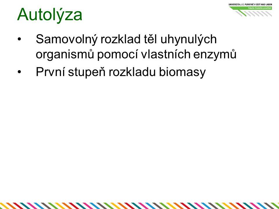 Autolýza Samovolný rozklad těl uhynulých organismů pomocí vlastních enzymů První stupeň rozkladu biomasy