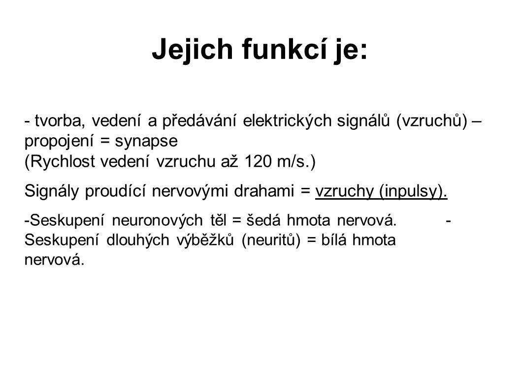 Jejich funkcí je: - tvorba, vedení a předávání elektrických signálů (vzruchů) – propojení = synapse (Rychlost vedení vzruchu až 120 m/s.) Signály prou