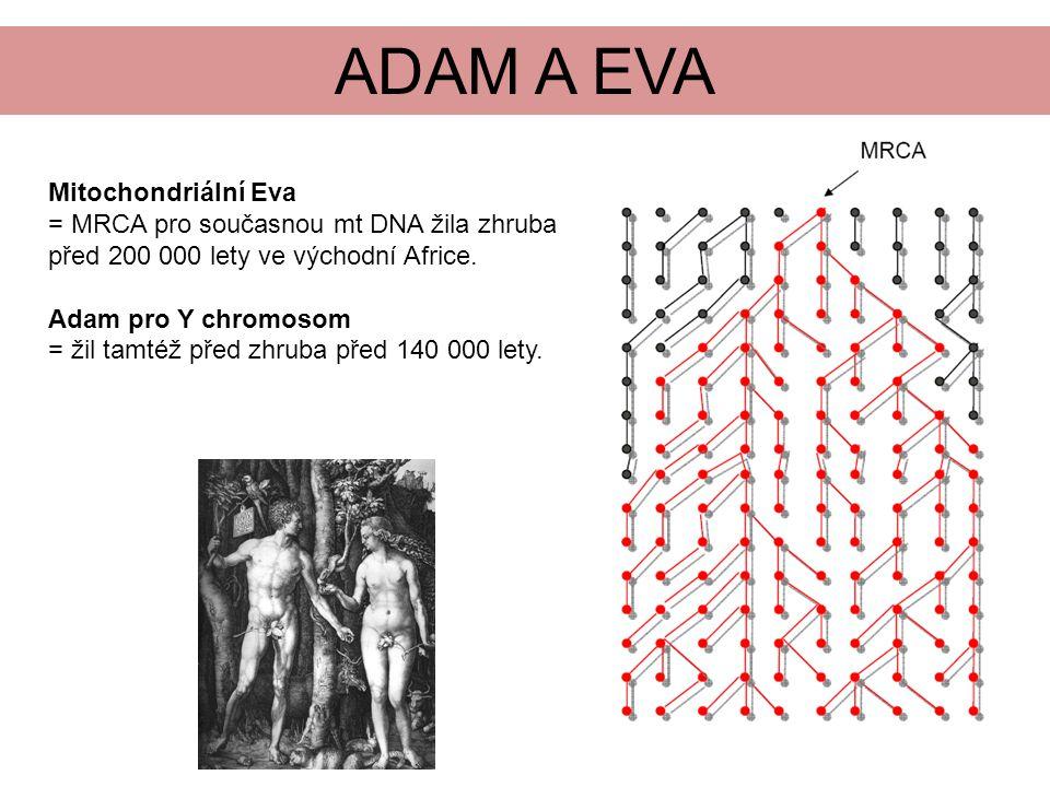 ADAM A EVA Mitochondriální Eva = MRCA pro současnou mt DNA žila zhruba před 200 000 lety ve východní Africe.