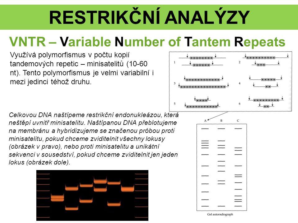 RESTRIKČNÍ ANALÝZY VNTR – Variable Number of Tantem Repeats Využívá polymorfismus v počtu kopií tandemových repetic – minisatelitů (10-60 nt).