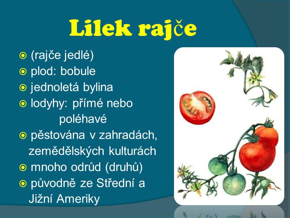 Lilek raj č e  (rajče jedlé)  plod: bobule  jednoletá bylina  lodyhy: přímé nebo poléhavé  pěstována v zahradách, zemědělských kulturách  mnoho odrůd (druhů)  původně ze Střední a Jižní Ameriky
