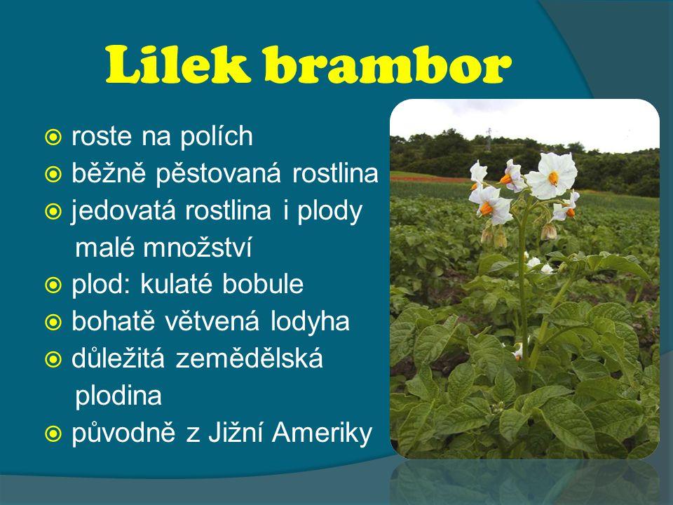 Lilek brambor  roste na polích  běžně pěstovaná rostlina  jedovatá rostlina i plody malé množství  plod: kulaté bobule  bohatě větvená lodyha  důležitá zemědělská plodina  původně z Jižní Ameriky