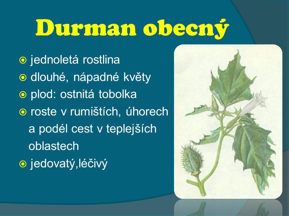 Durman obecný  jednoletá rostlina  dlouhé, nápadné květy  plod: ostnitá tobolka  roste v rumištích, úhorech a podél cest v teplejších oblastech  jedovatý,léčivý
