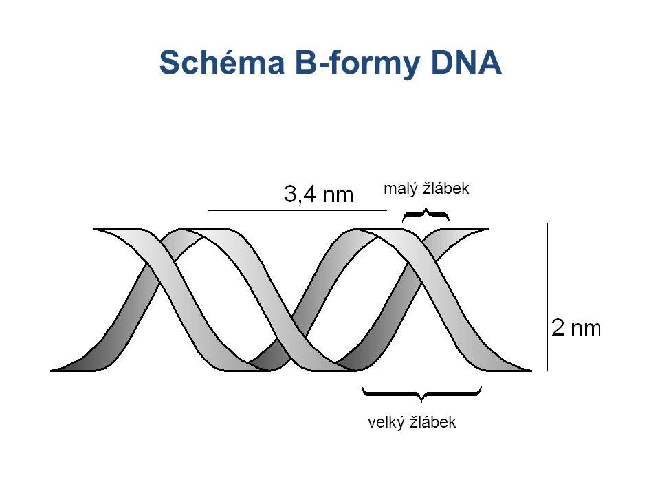 Schéma B-formy DNA malý žlábek velký žlábek