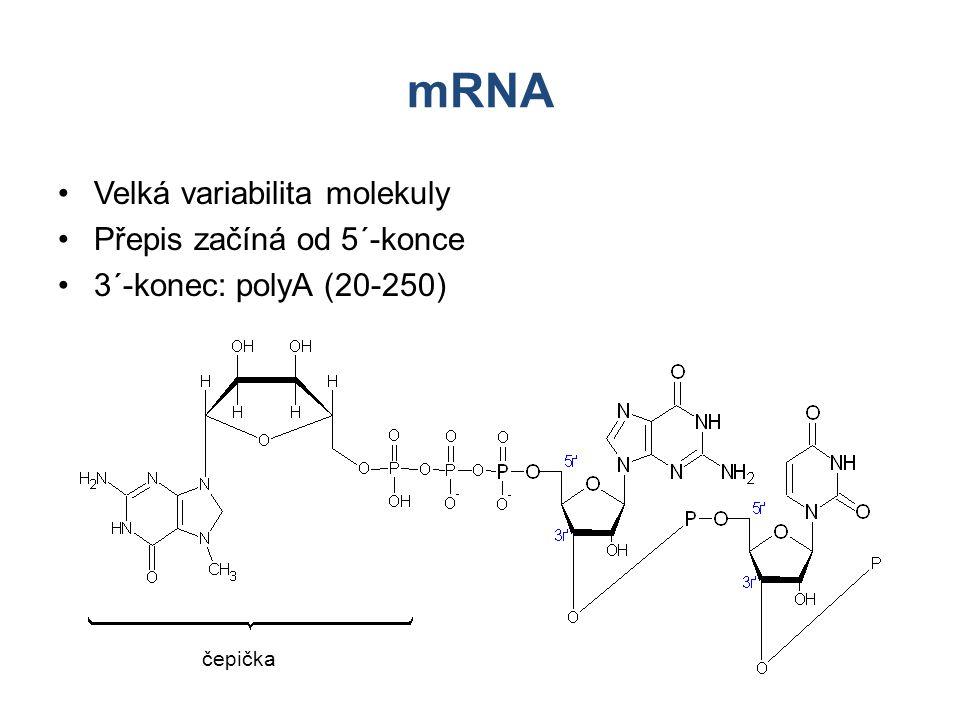 mRNA Velká variabilita molekuly Přepis začíná od 5´-konce 3´-konec: polyA (20-250) čepička