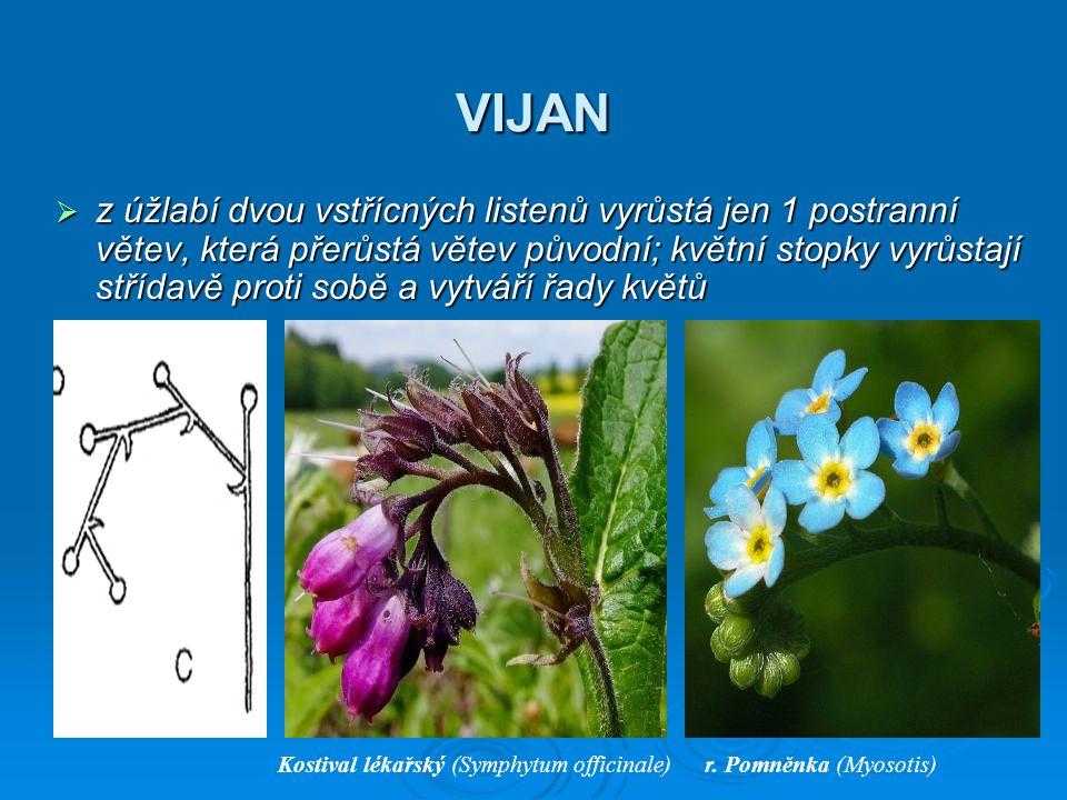VIJAN  z úžlabí dvou vstřícných listenů vyrůstá jen 1 postranní větev, která přerůstá větev původní; květní stopky vyrůstají střídavě proti sobě a vy
