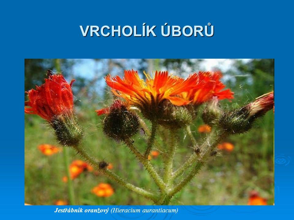 VRCHOLÍK ÚBORŮ Jestřábník oranžový (Hieracium aurantiacum)