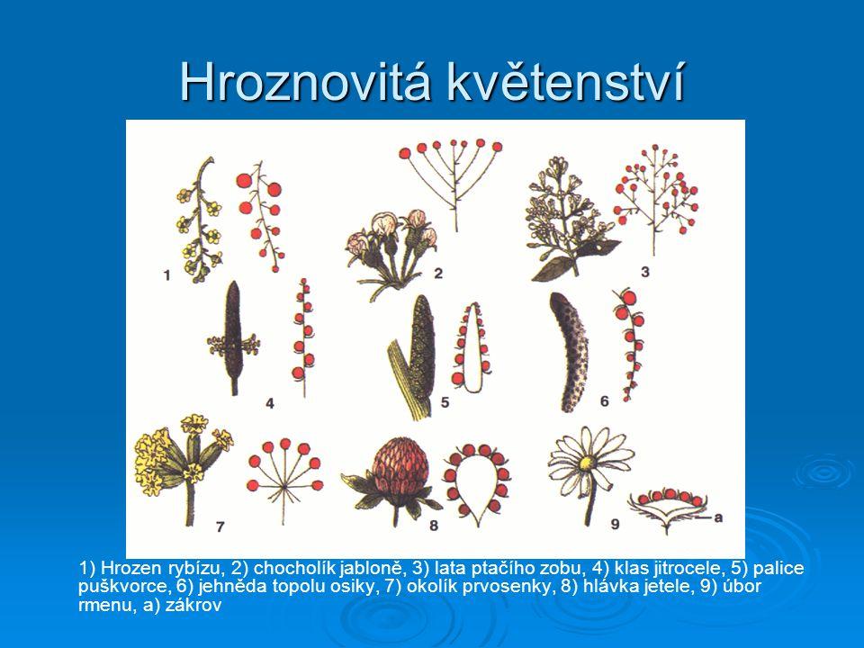 Hroznovitá květenství 1) Hrozen rybízu, 2) chocholík jabloně, 3) lata ptačího zobu, 4) klas jitrocele, 5) palice puškvorce, 6) jehněda topolu osiky, 7