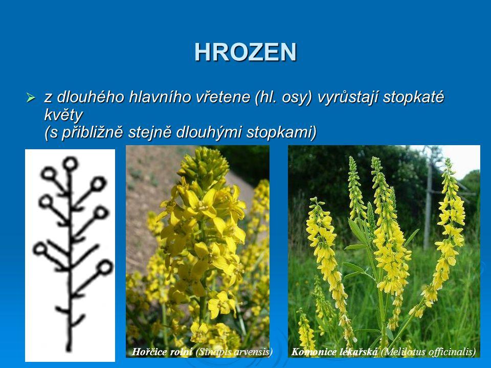 HROZEN  z dlouhého hlavního vřetene (hl. osy) vyrůstají stopkaté květy (s přibližně stejně dlouhými stopkami) Hořčice rolní (Sinapis arvensis)Komonic