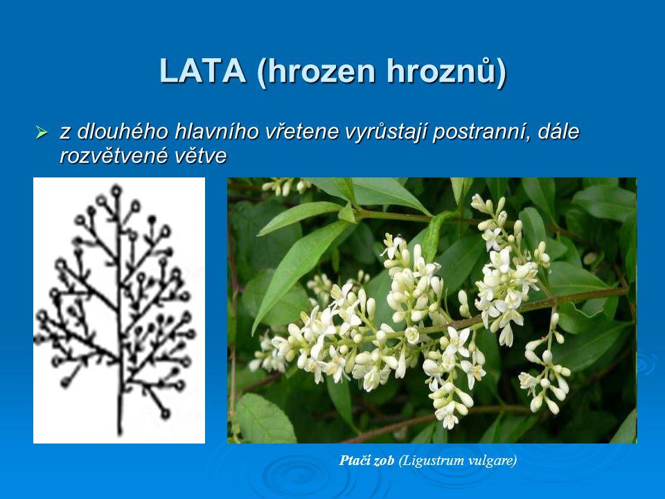 LATA (hrozen hroznů)  z dlouhého hlavního vřetene vyrůstají postranní, dále rozvětvené větve Ptačí zob (Ligustrum vulgare)