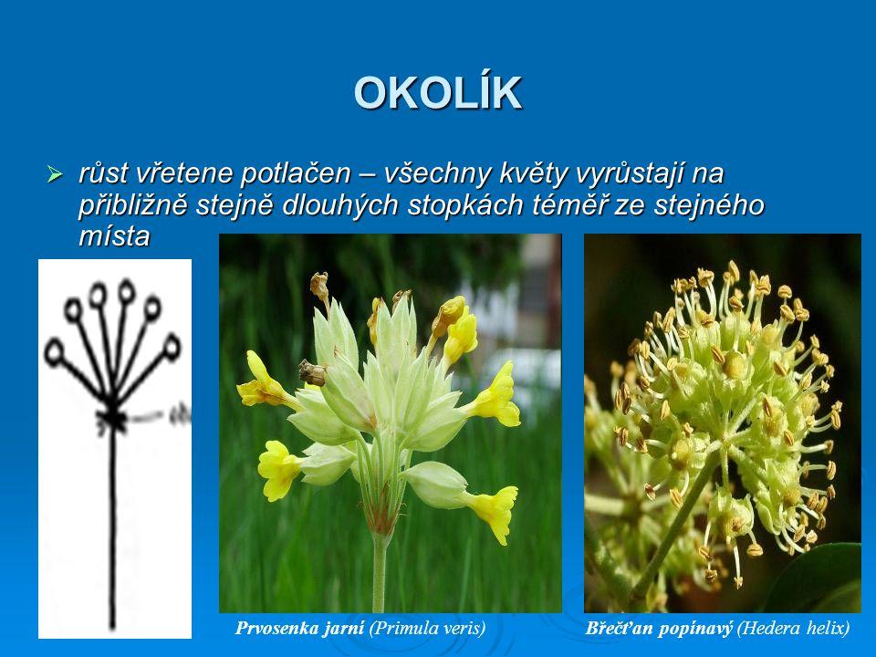OKOLÍK  růst vřetene potlačen – všechny květy vyrůstají na přibližně stejně dlouhých stopkách téměř ze stejného místa Prvosenka jarní (Primula veris)