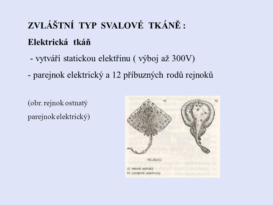 3. SVALOVÁ TKÁŇ Je tvořena svalovými buňkami(myocyty). TYPY: hladká, žíhaná a srdeční. (obr.srdeční svalovina)