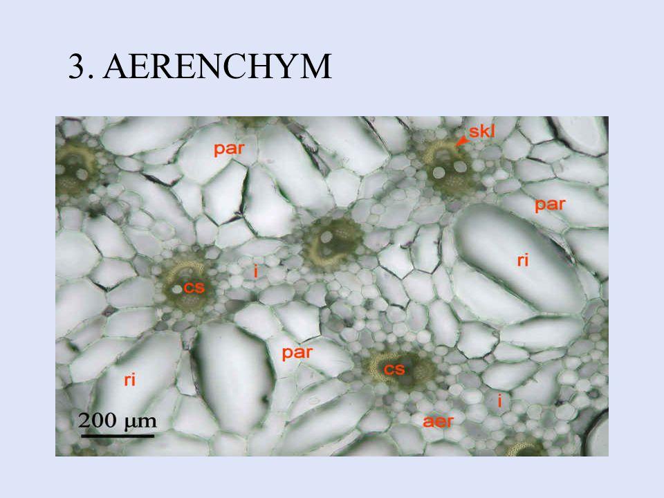 2. PROSENCHYM Tvořen protáhlými buňkami se šikmými přehrádkami. Nachází se hlavně v cévních svazcích.