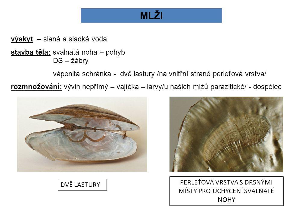 MLŽI výskyt – slaná a sladká voda stavba těla: svalnatá noha – pohyb DS – žábry vápenitá schránka - dvě lastury /na vnitřní straně perleťová vrstva/ rozmnožování: vývin nepřímý – vajíčka – larvy/u našich mlžů parazitické/ - dospělec DVĚ LASTURY PERLEŤOVÁ VRSTVA S DRSNÝMI MÍSTY PRO UCHYCENÍ SVALNATÉ NOHY